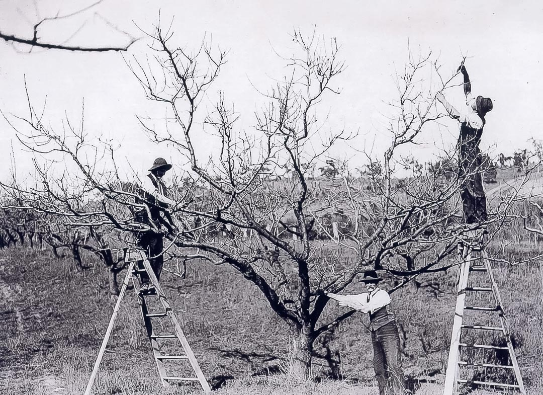 Pruning at George Apted's 'Meadvale' orchard, Nutfield