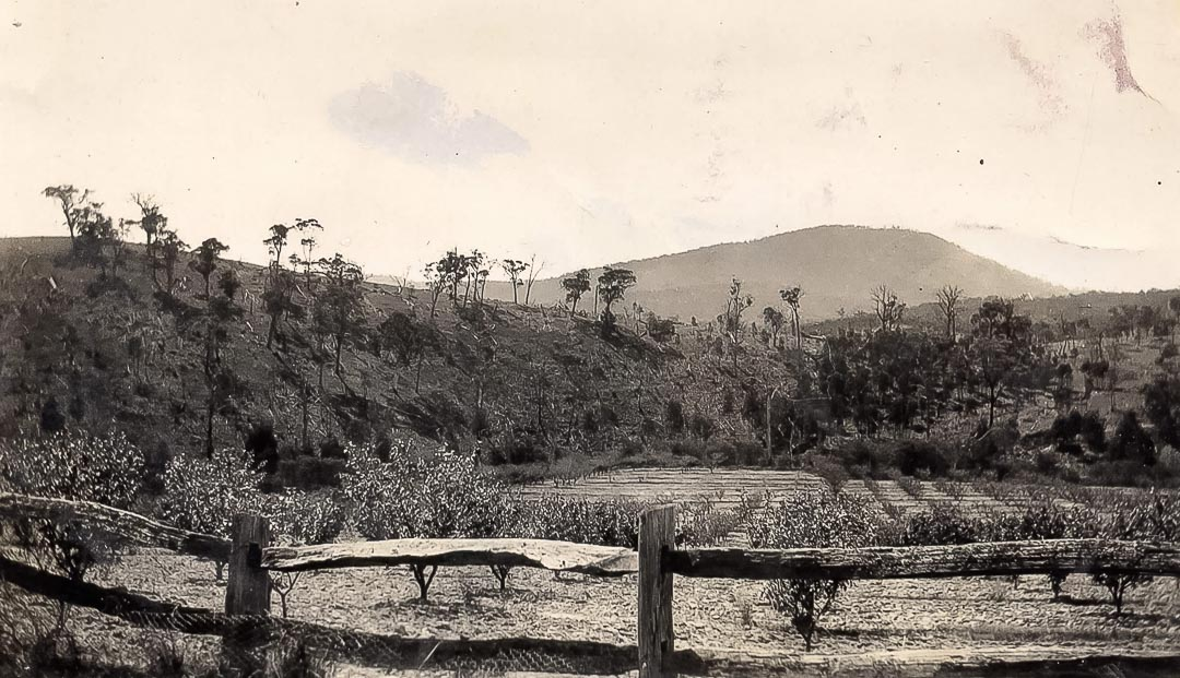 The old peach garden at 'Glen Ard' 1920.  Looking across Arthurs Creek to Mt Sugarloaf