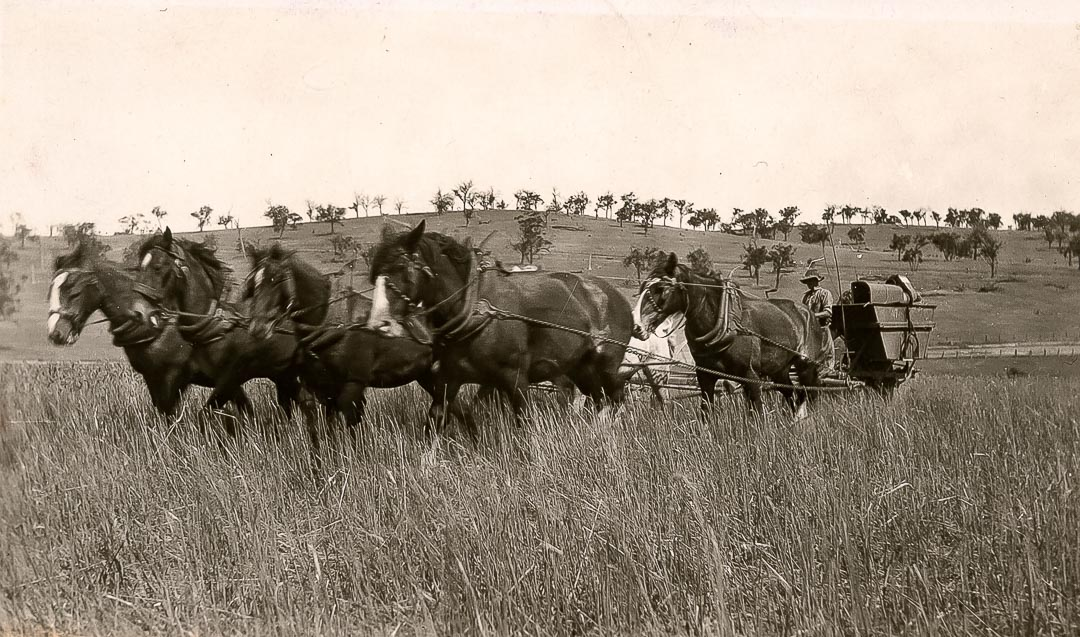Stripping oats in 1925 at 'Barton Hill', the home of James Draper, 1863 - 1940 and Blanche Draper (nee Hurrey), 1880 - 1968; the author's grandparents