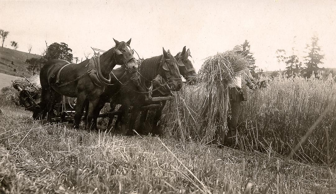 Stripping oats at 'Barton Hill', one of the historic Draper family properties in the Yan Yean and Arthurs Creek districts, 1925