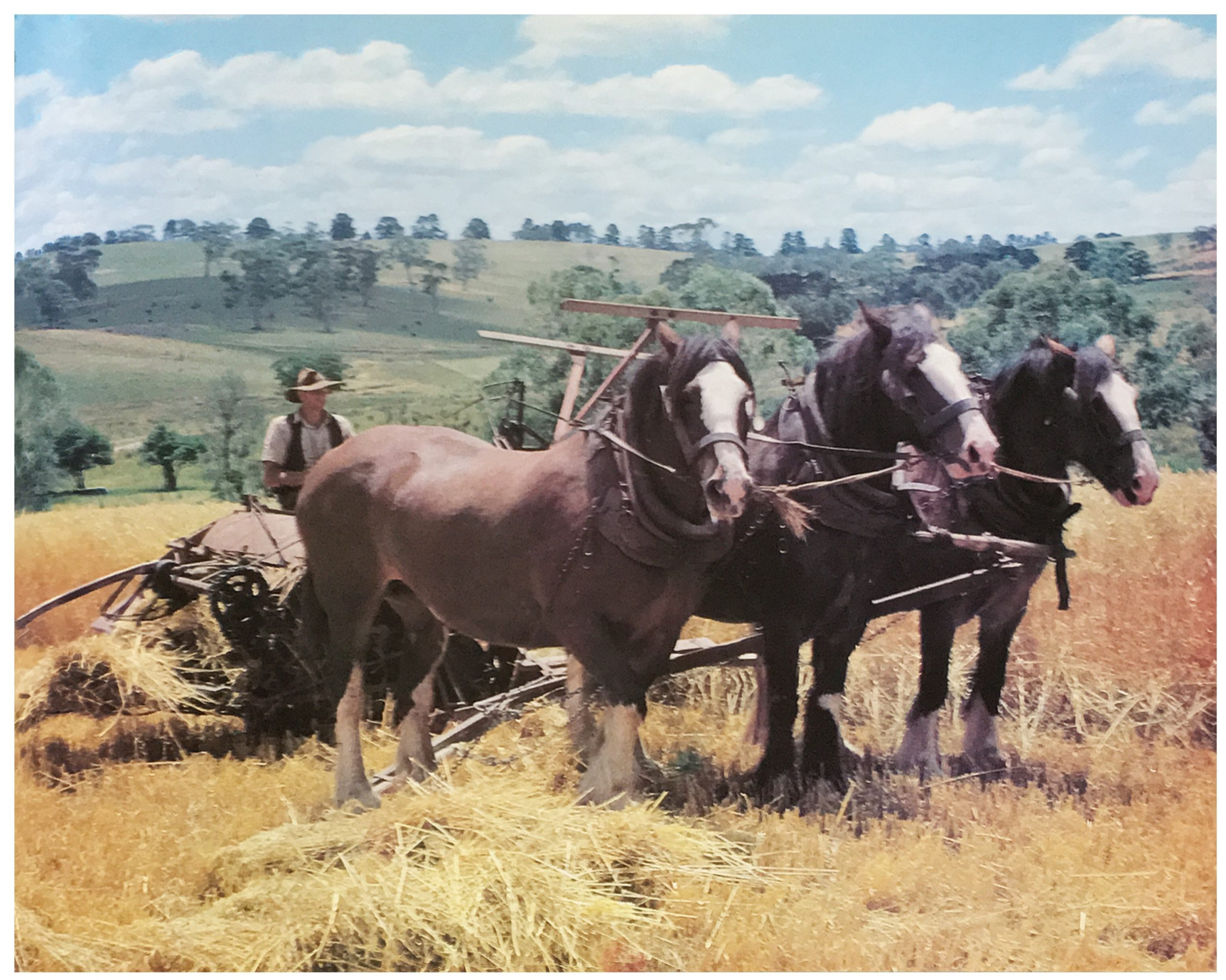 Harvesting Oaten Hay with the Reaper and Binder at 'Barton Hill'.  The author's father, James (Jim) Chester Draper, lived on the family farm during his childhood at 'Barton Hill', Running Creek Road, Arthurs Creek.  Photo credit Yan Yean: A History by Dianne Edwards