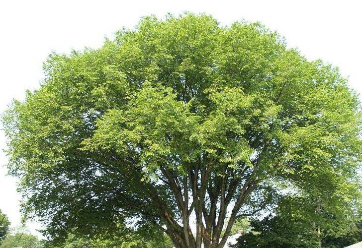 An Elm tree, such as those planted in 1918.  Dutch elm disease was first identified in the Netherlands in 1919, hence the name 'Dutch' elm disease. Fortunately it is not yet in Australia, nevertheless, only three of the original trees survive on the Hurstbridge Honour Avenue