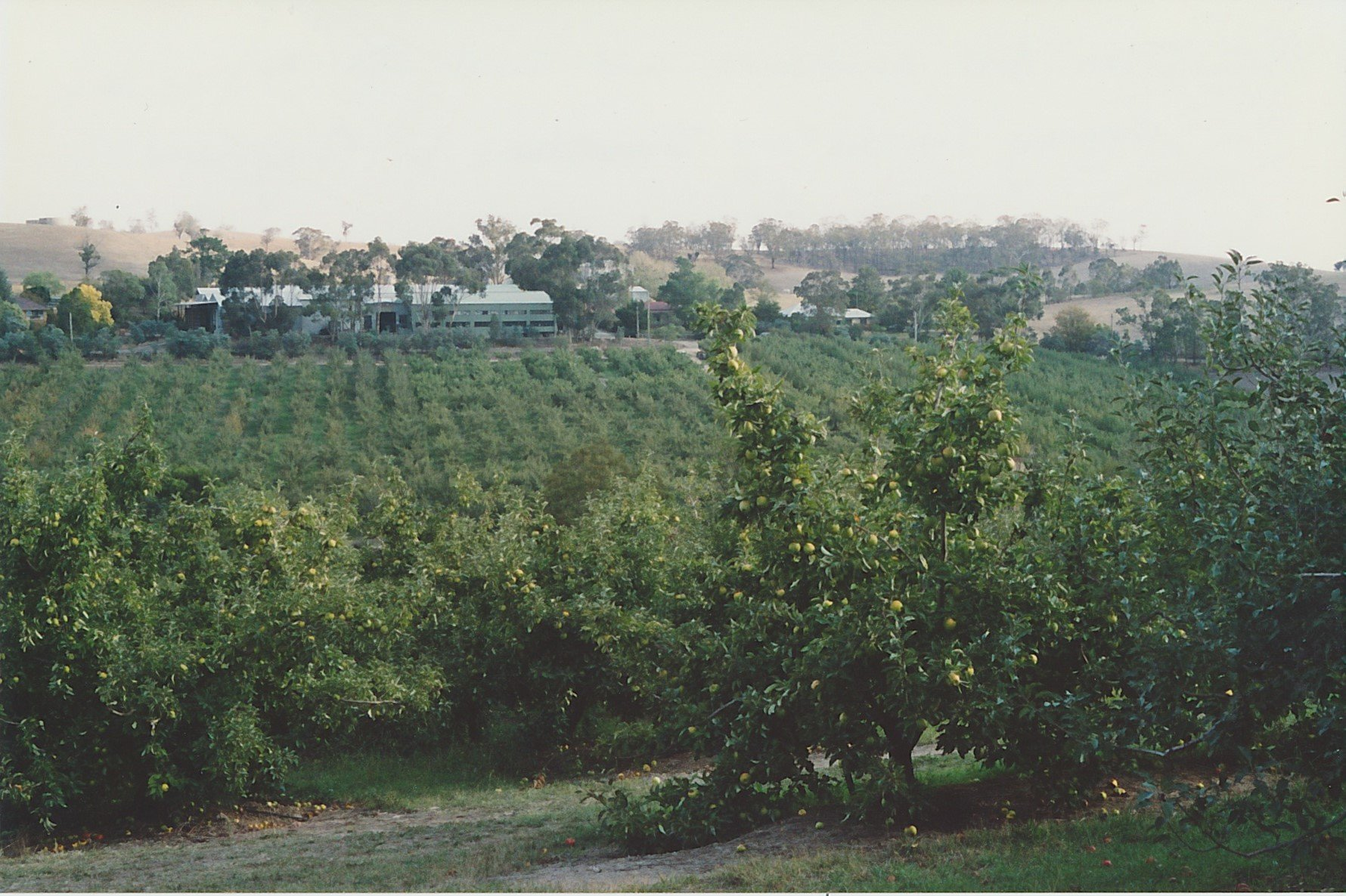 'Glen Ard' orchards and coolstores.  Granny Smith and Jonathan apple trees in the foreground.  Bruce G. Draper, November 2003