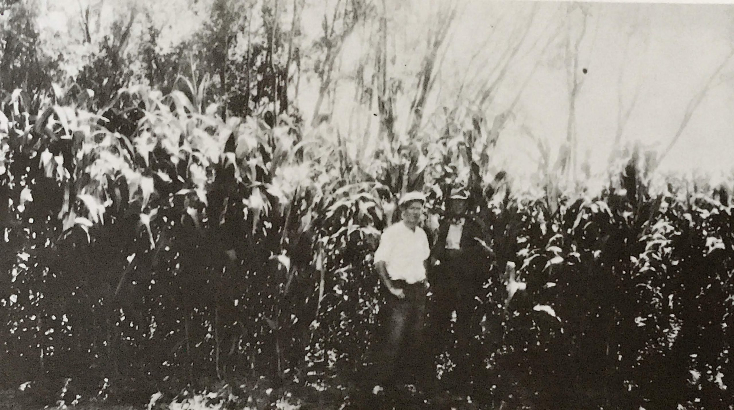 Maize grown in the Yan Yean and Arthurs Creek districts.  Photo credit James Chester Draper