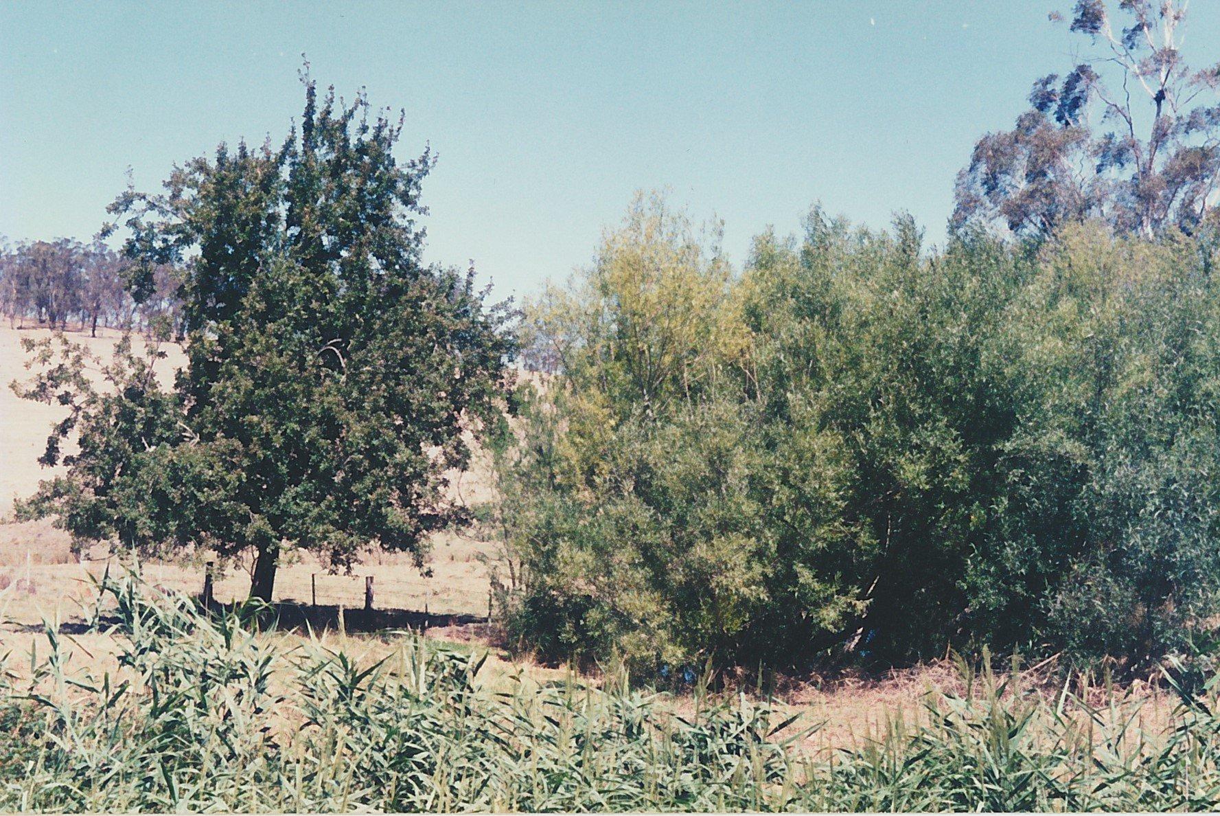 Pear tree near Running Creek above 'Charnwood', Arthurs Creek.  Bruce G. Draper, November 2003