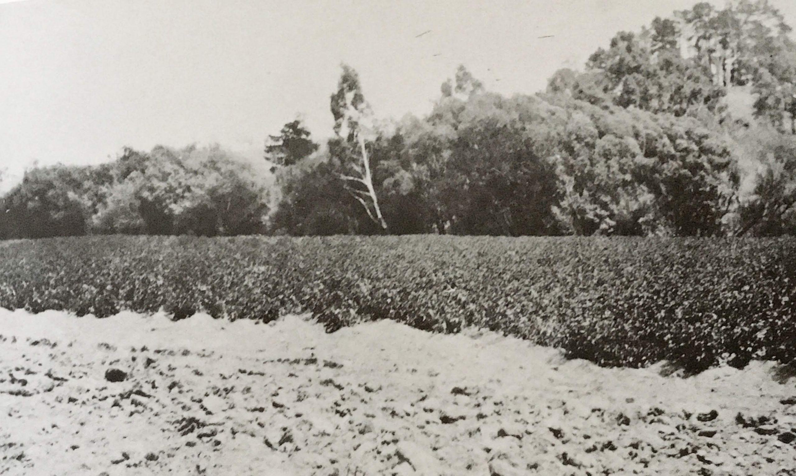 Potatoes grown in the Yan Yean and Arthurs Creek districts.  Photo credit James Chester Draper