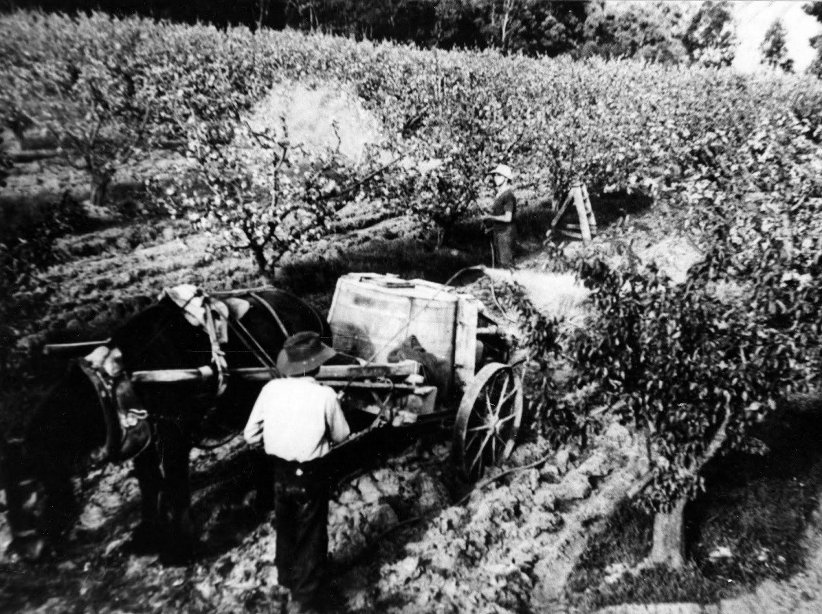 Spraying fruit trees with a Bave-U motorized spray pump. This horse-drawn Bave-U was made at the Russell implements works at Box Hill. Two hoses meant that two workers could spray at the same time c 1914.  Photo credit Doncaster Templestowe Historical Society