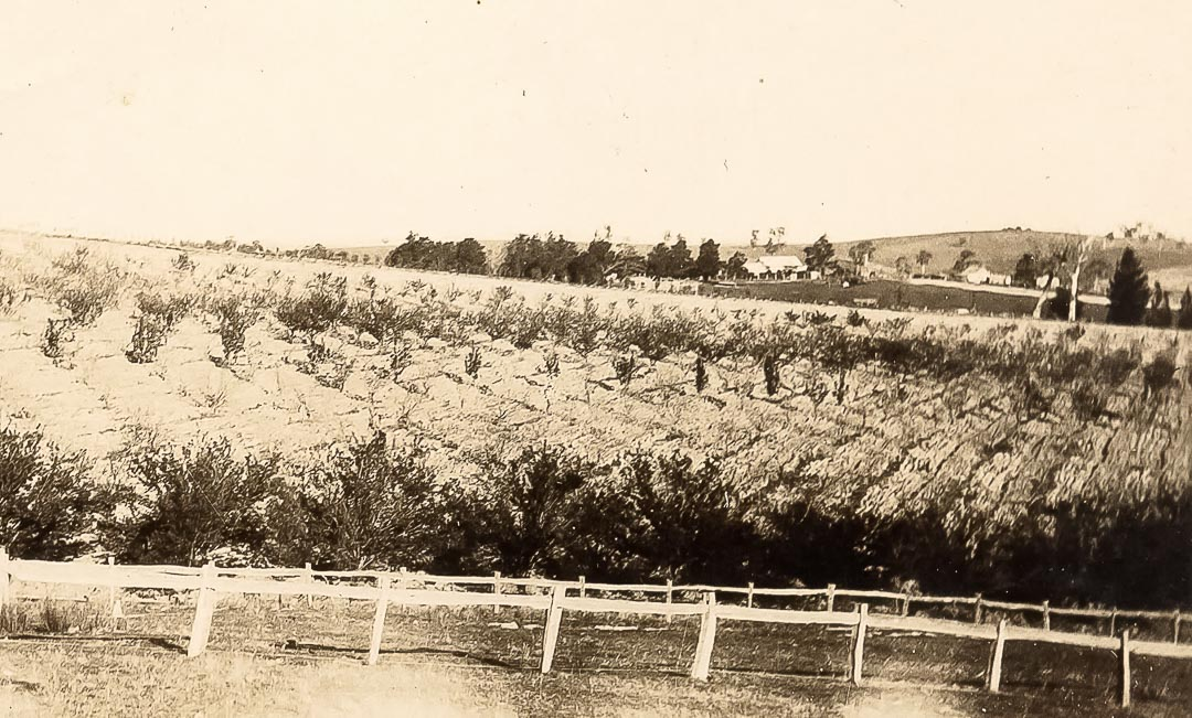 Orchards at 'Barton Hill', Yan Yean, the home of James and Blanche Draper c 1920