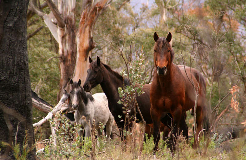 A mob of wild horses (brumbies) known as The Flyers frequented the foothills of the Plenty Ranges above Ardchattan. After coming down the spur between the Arthurs and Running Creeks, the horses stopped to drink from a clear pool with a rocky bottom. The pool, known as The Flyer's Hole, was located not far from the site of the Charnwood homestead on the lower reaches of the Running Creek. Some of the first farm horses used by the Draper family came from this mob.  James Chester Draper recalled some of his trips would be on un-broken horses. He and his siblings would charge the owner a pound to break the horse in
