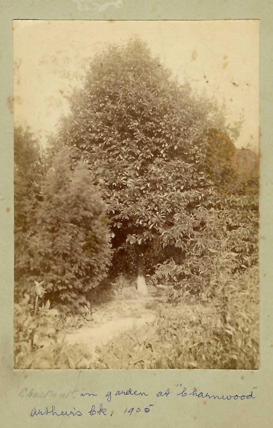 Chestnut tree in the garden at 'Charnwood', Arthurs Creek, 1905
